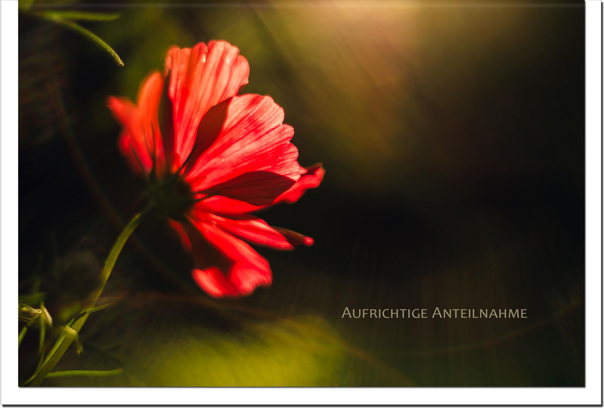 Trauer Trauerkarten Kondolenzkarten / Anemone / Stilvoll Niveauvoll Einfühlsam