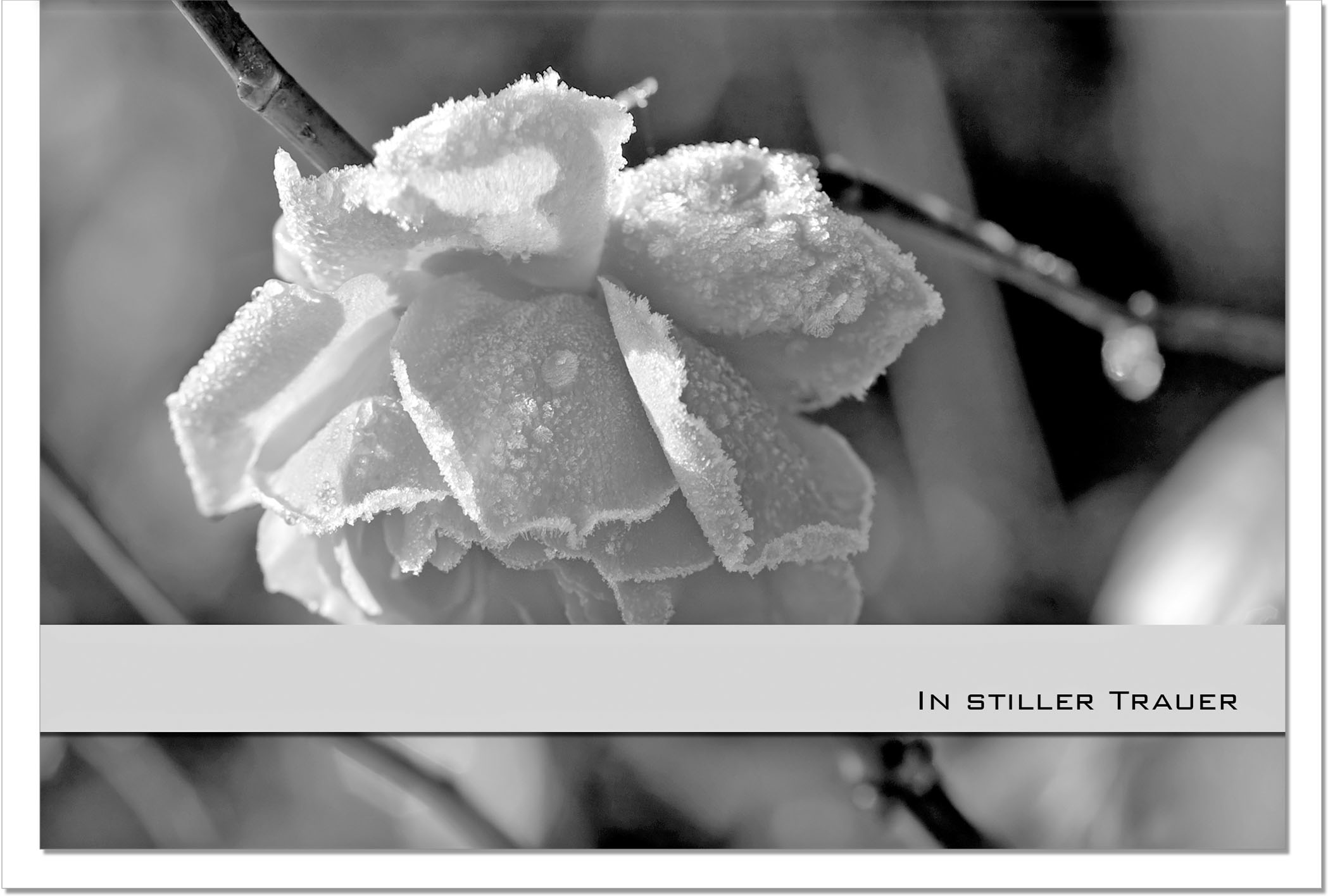 Trauerkarte Beileidskarte / Rose